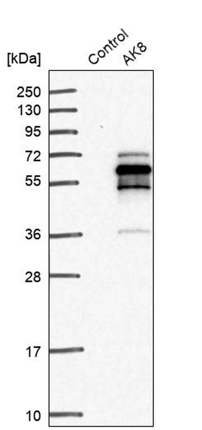 Adenylate Kinase 8 Antibody in Western Blot (WB)