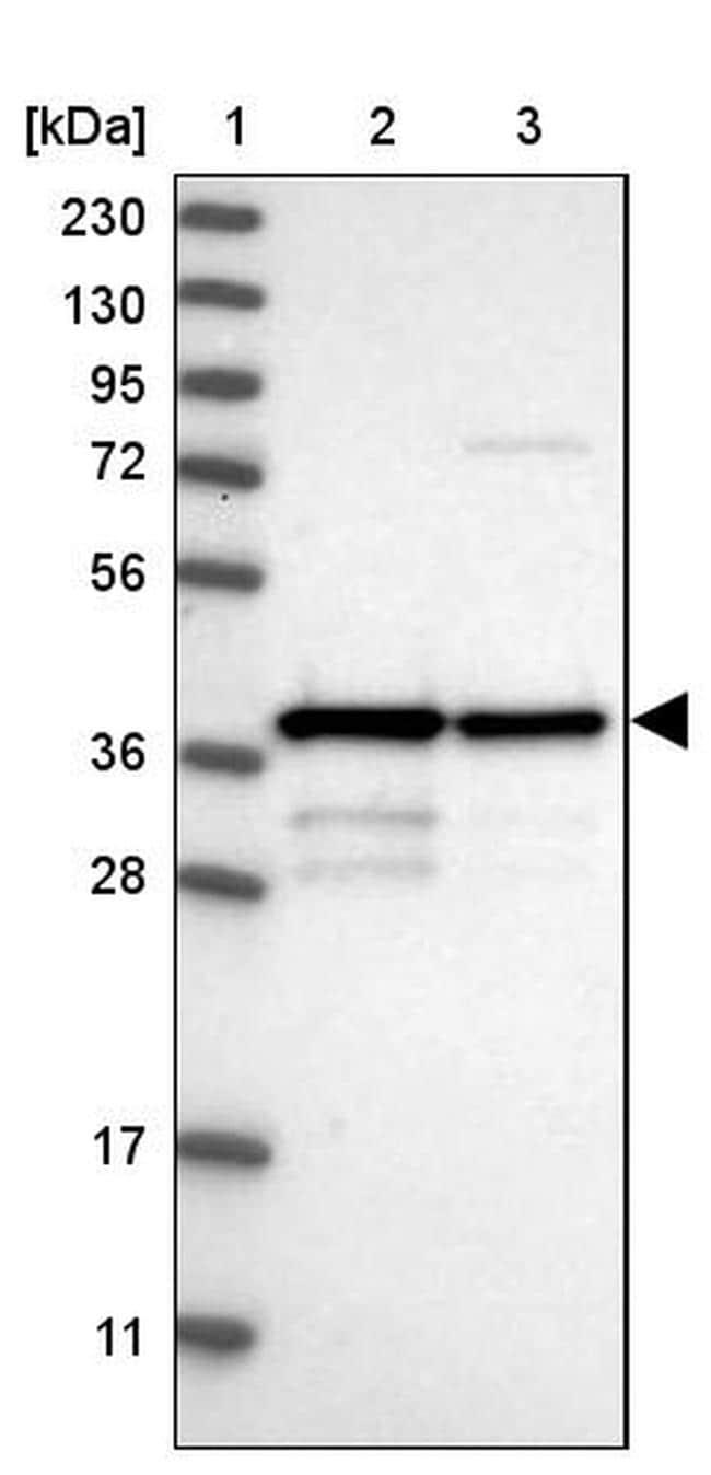MRM1 Antibody in Western Blot (WB)