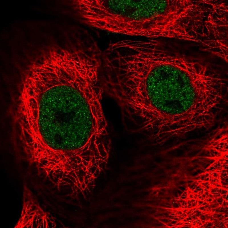 ZNF592 Antibody in Immunofluorescence (IF)