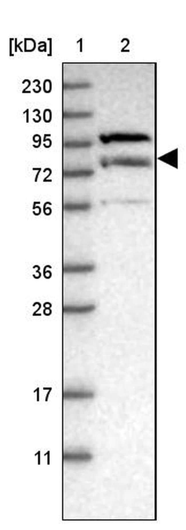 LRSAM1 Antibody in Western Blot (WB)
