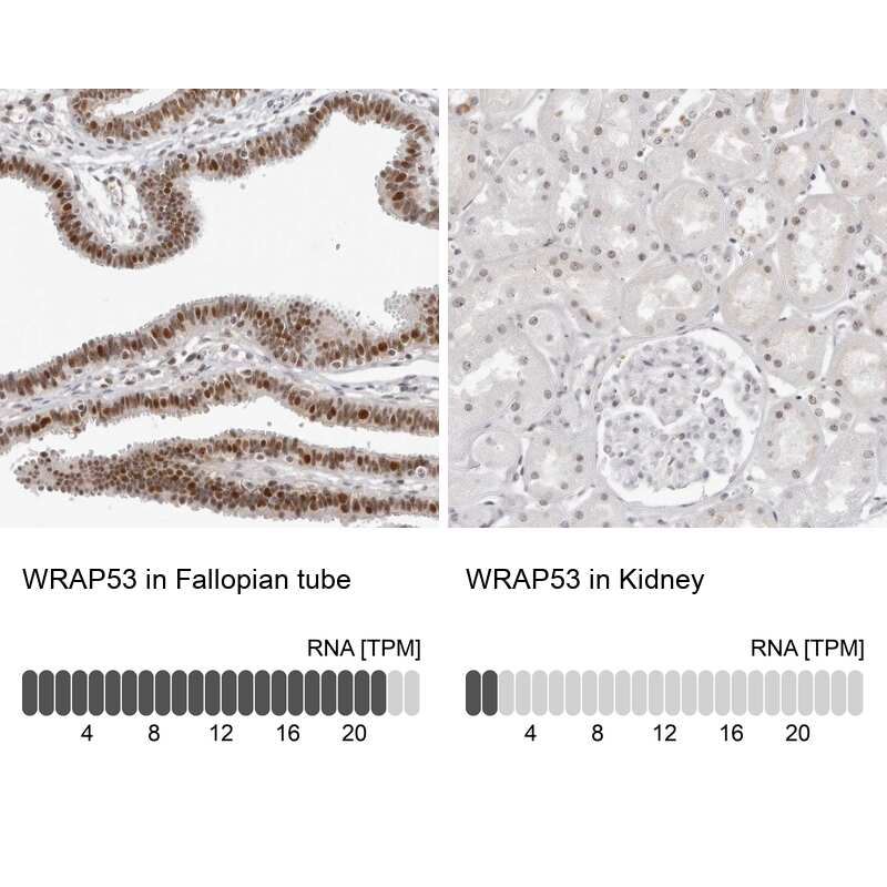 WRAP53 Antibody in Relative expression