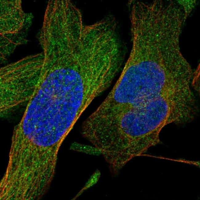 SHMT1 Antibody in Immunocytochemistry (ICC/IF)