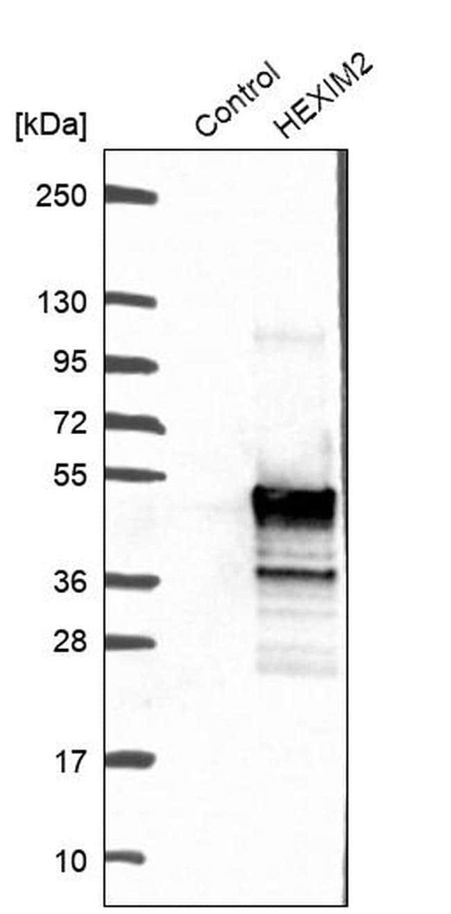HEXIM2 Antibody in Western Blot (WB)