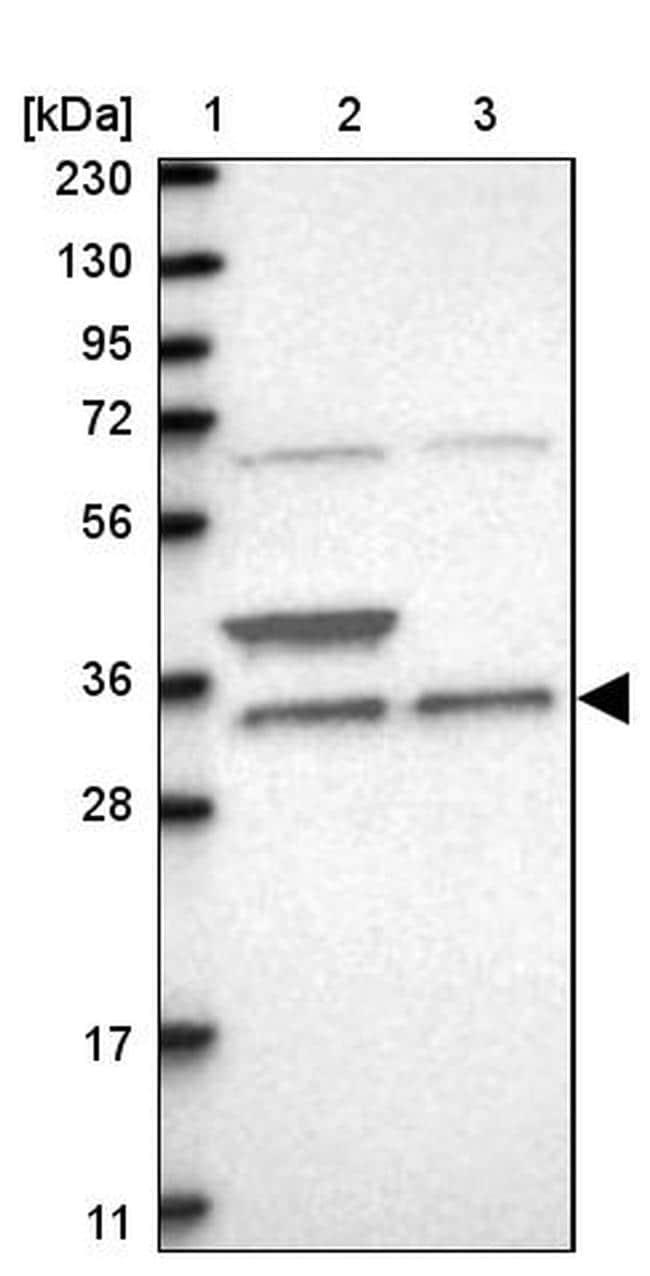 ZFAND1 Antibody in Western Blot (WB)