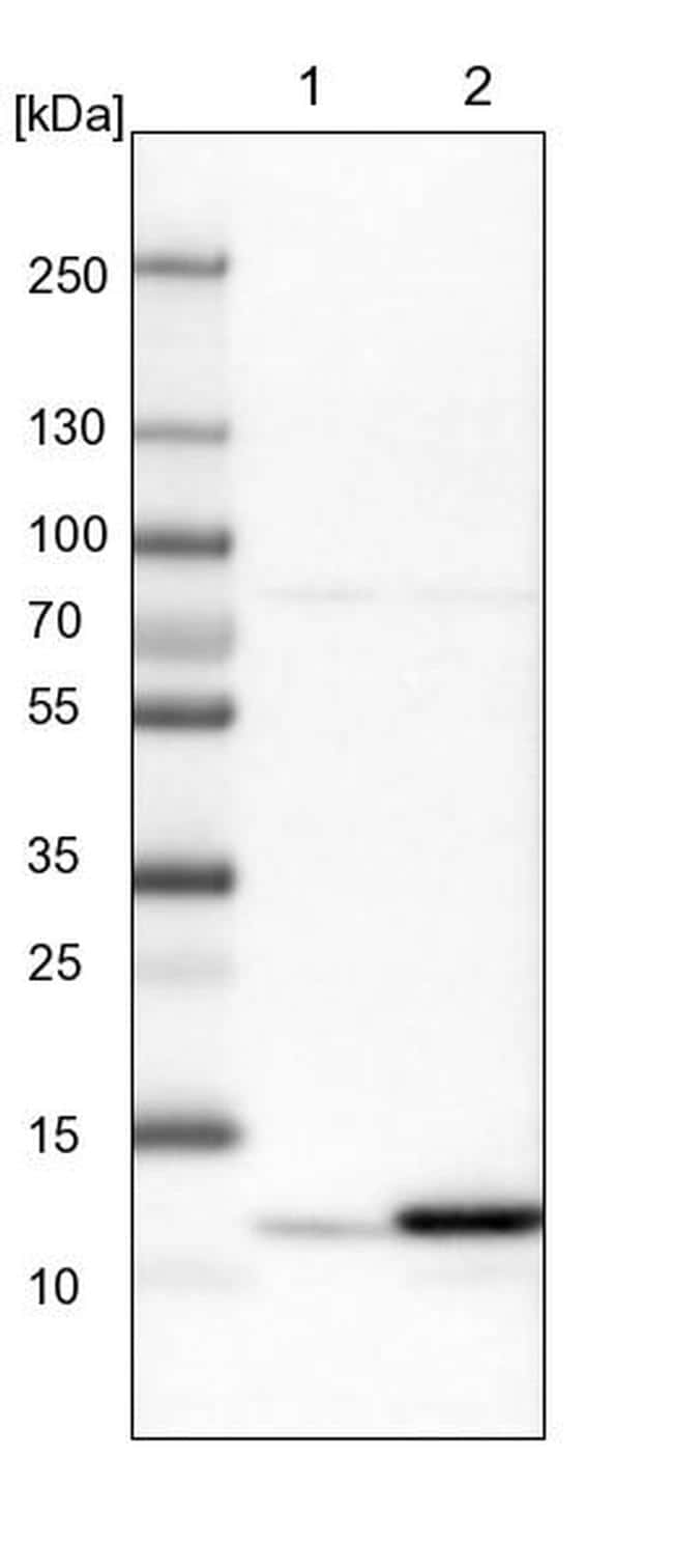 HRSP12 Antibody in Western Blot (WB)