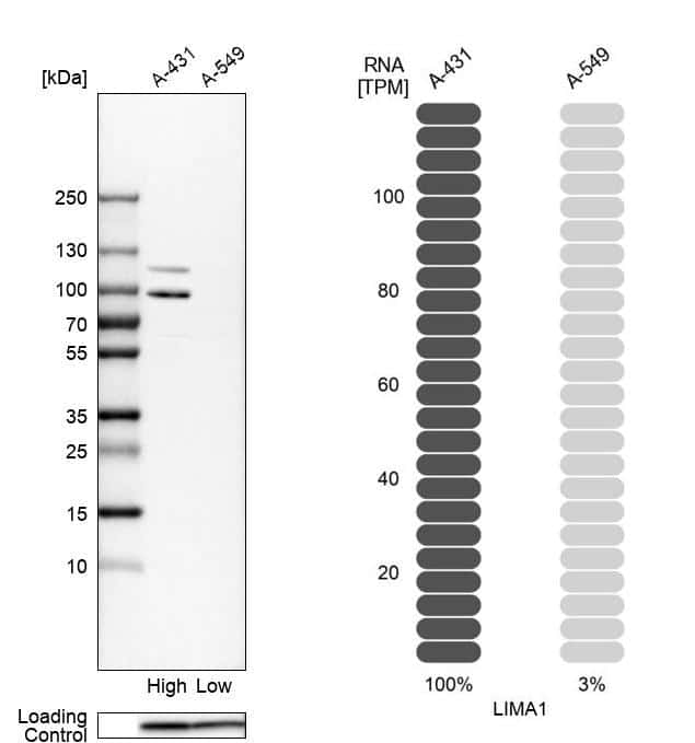 EPLIN Antibody in Relative expression