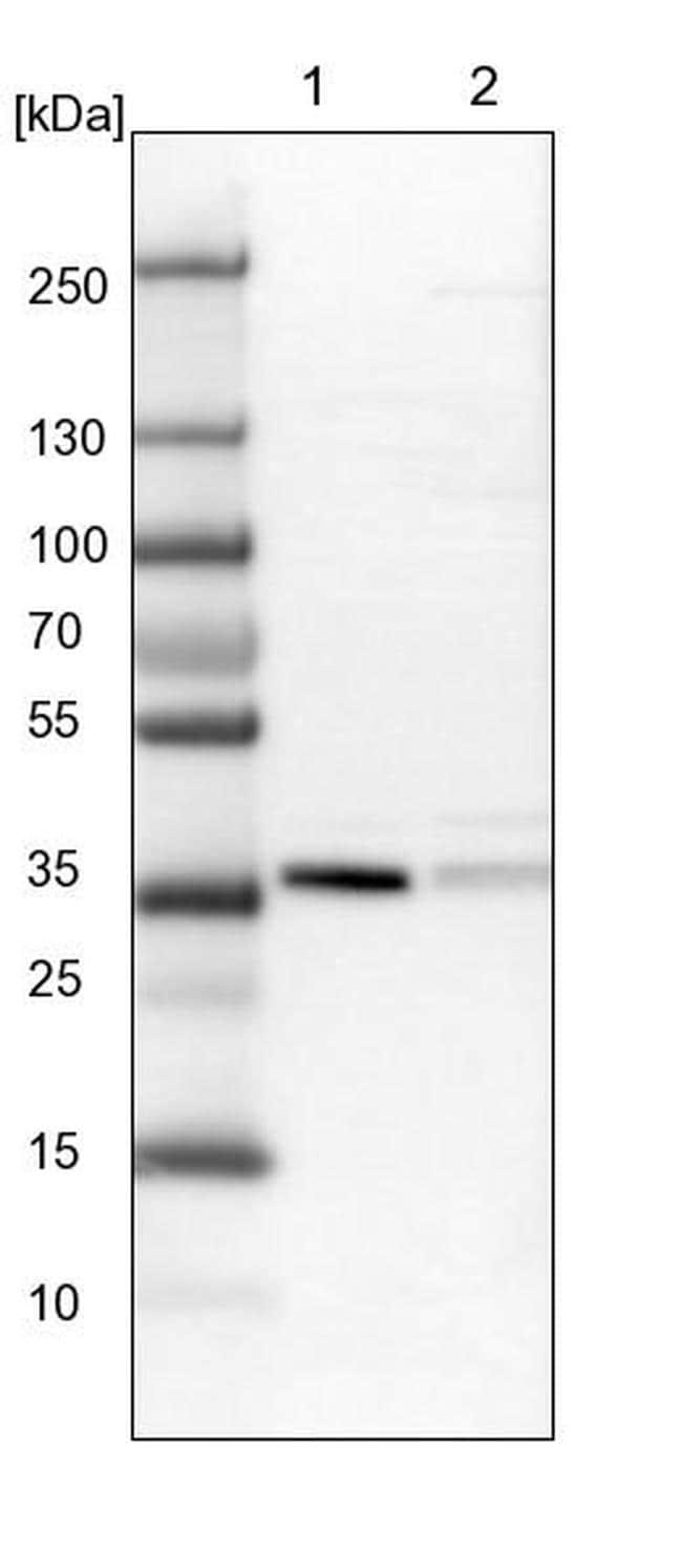 NDE1 Antibody in Western Blot (WB)