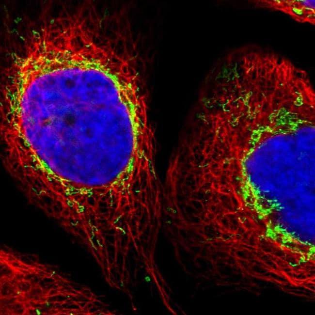 ZNF862 Antibody in Immunofluorescence (IF)