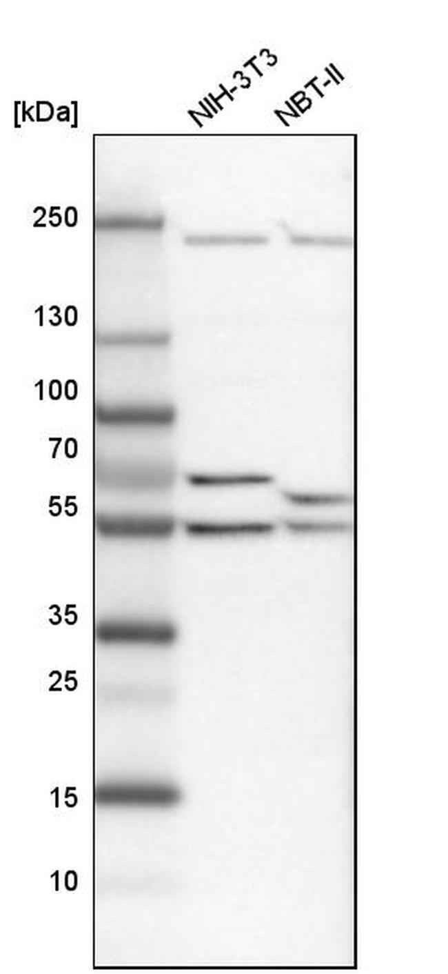 DDX6 Antibody in Western Blot (WB)