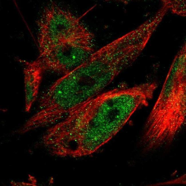 CPSF2 Antibody in Immunofluorescence (IF)