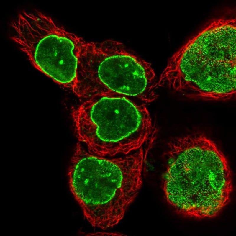 TPR Antibody in Immunofluorescence (IF)