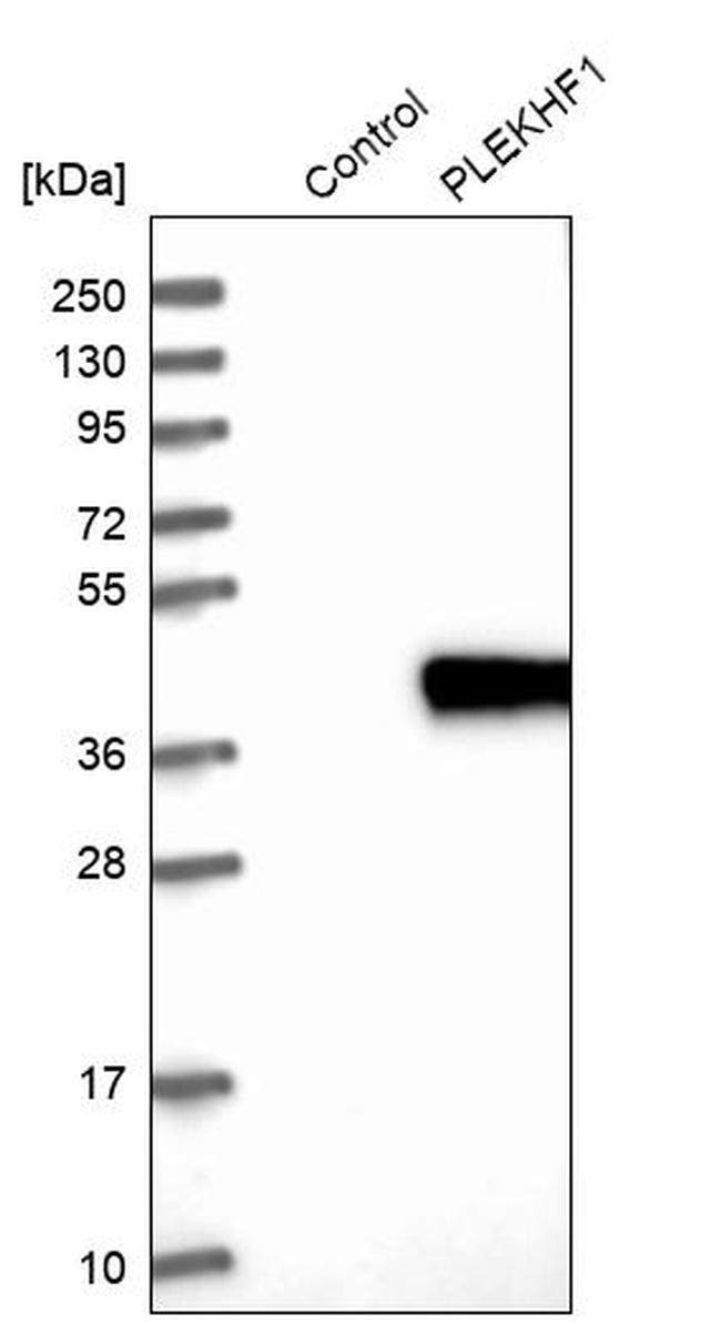 Phafin 1 Antibody in Western Blot (WB)