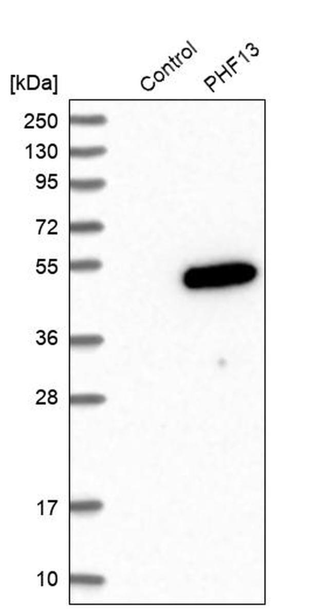 PHF13 Antibody in Western Blot (WB)