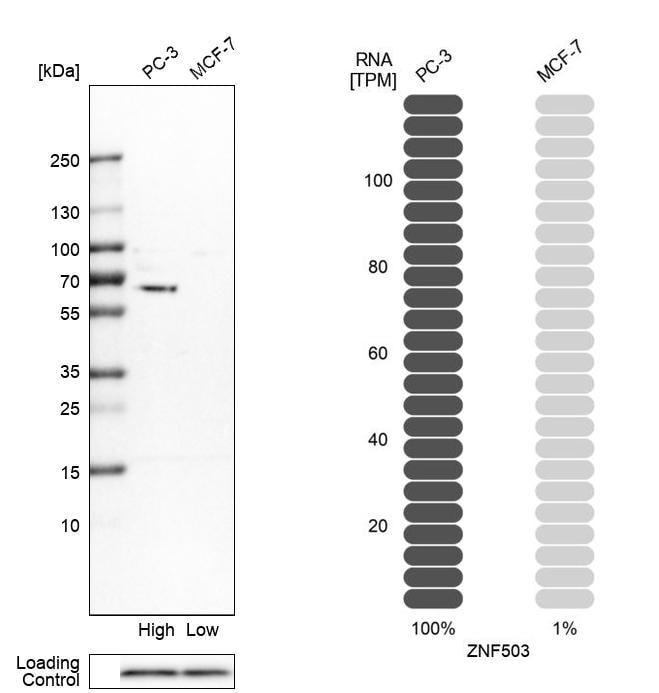 ZNF503 Antibody in Relative expression
