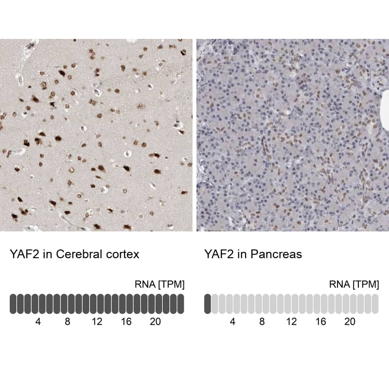 YAF2 Antibody in Relative expression