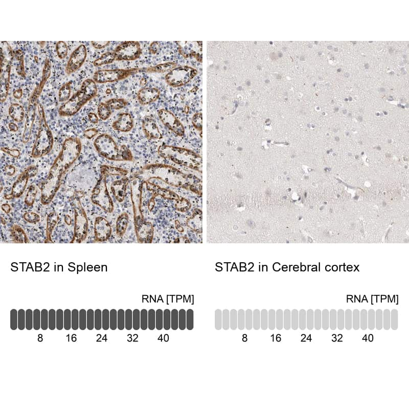 Stabilin 2 Antibody in Relative expression