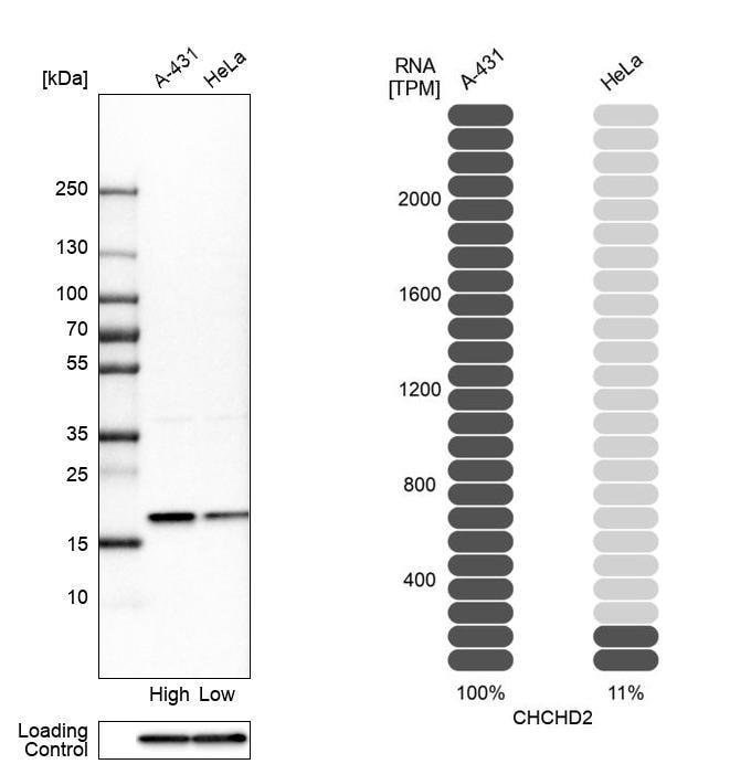 CHCHD2 Antibody in Relative expression