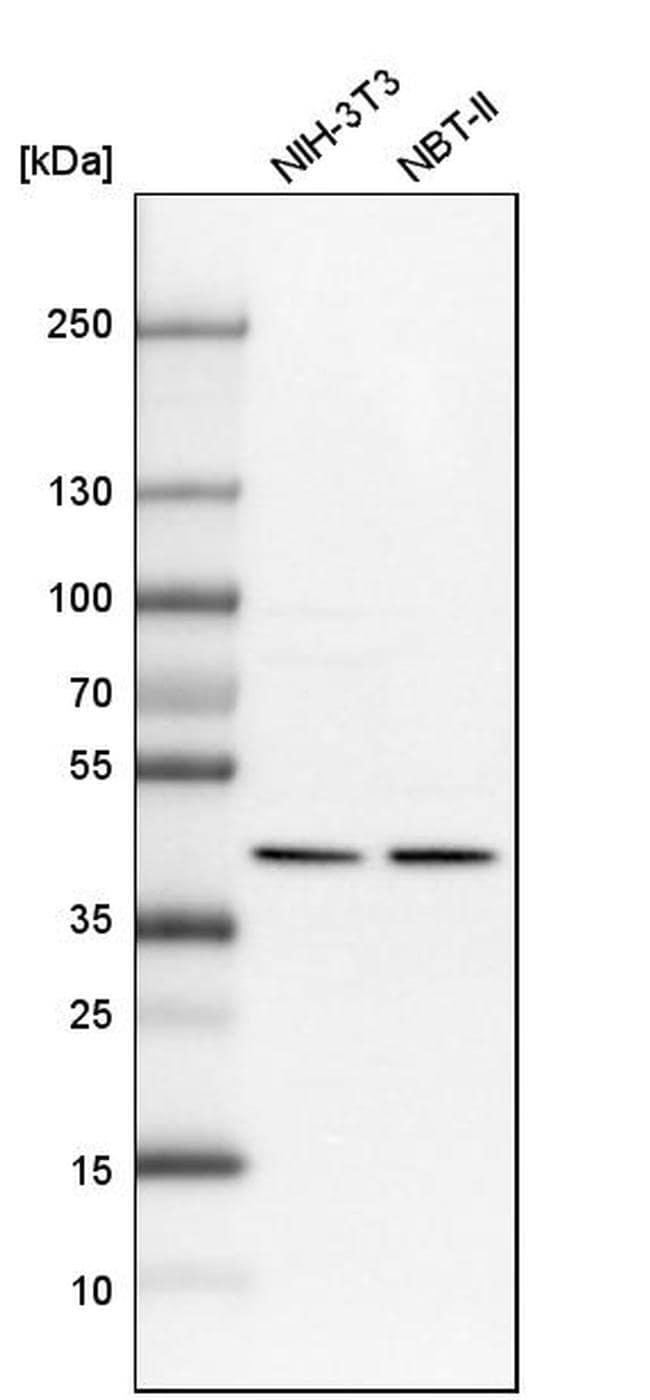 PPP1R8 Antibody in Western Blot (WB)