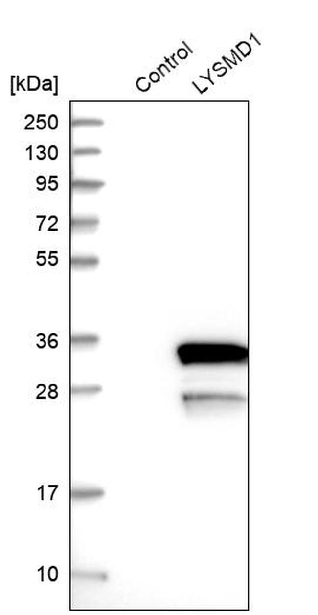 LYSMD1 Antibody in Western Blot (WB)
