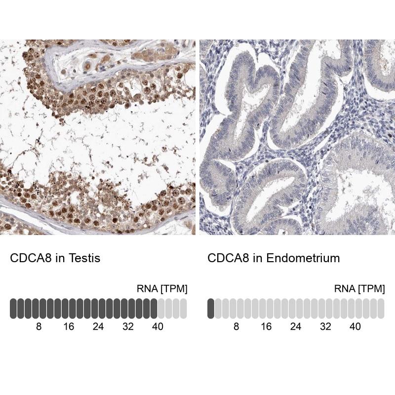 CDCA8 Antibody in Relative expression
