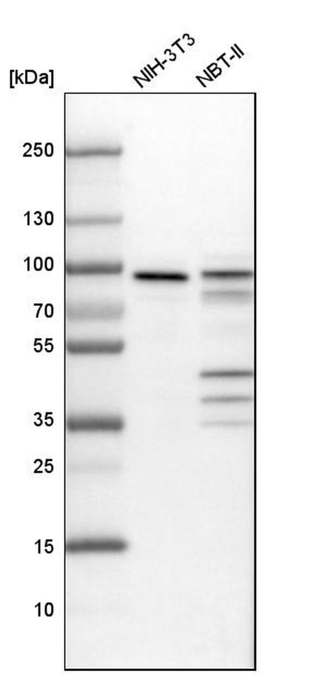 ENAH Antibody in Western Blot (WB)