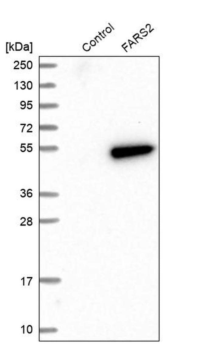 FARS2 Antibody in Western Blot (WB)