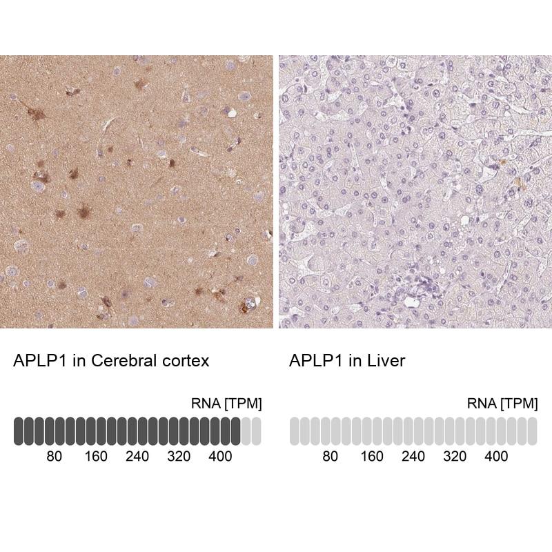APLP1 Antibody in Relative expression