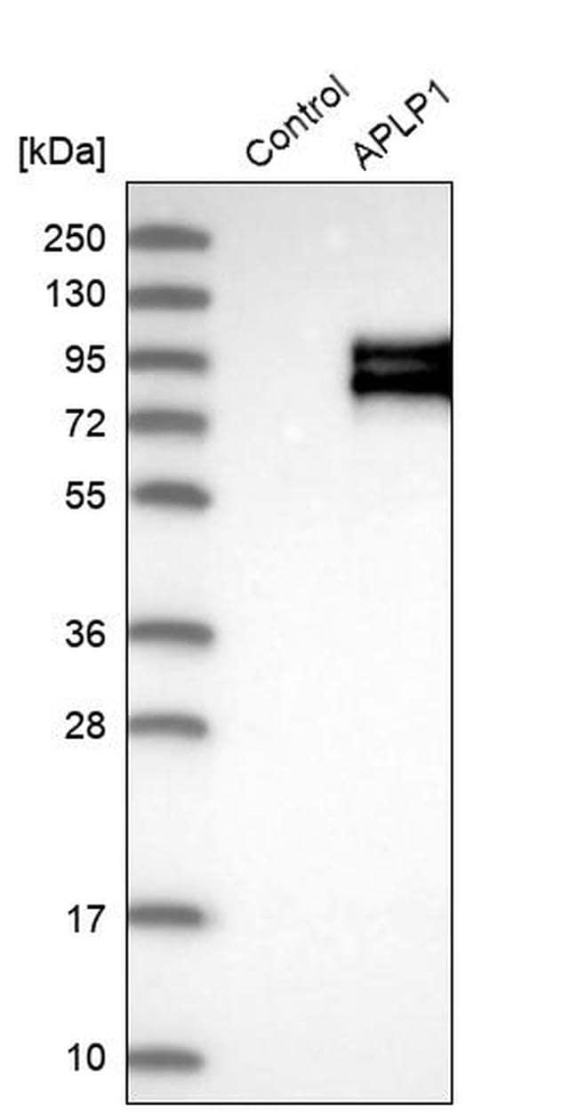 APLP1 Antibody in Western Blot (WB)