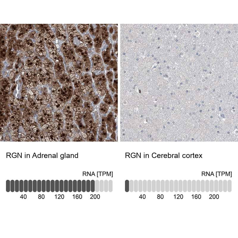RGN Antibody in Relative expression