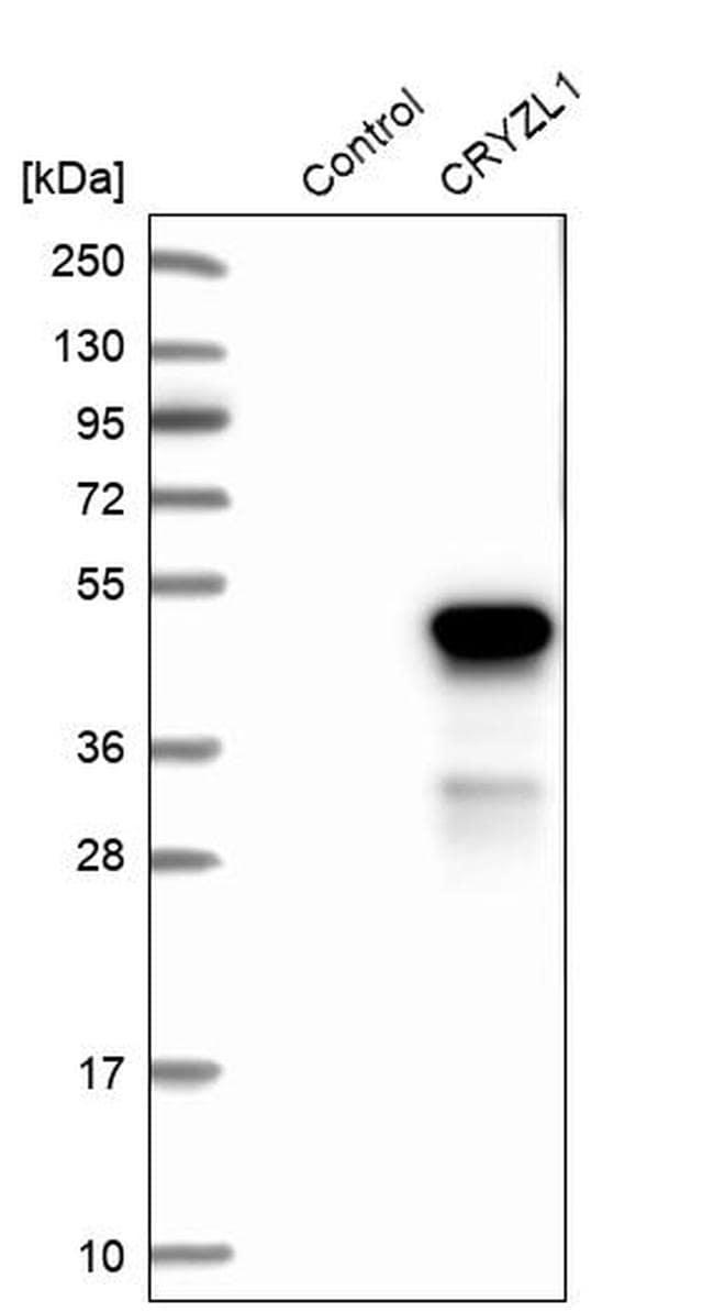 CRYZL1 Antibody in Western Blot (WB)