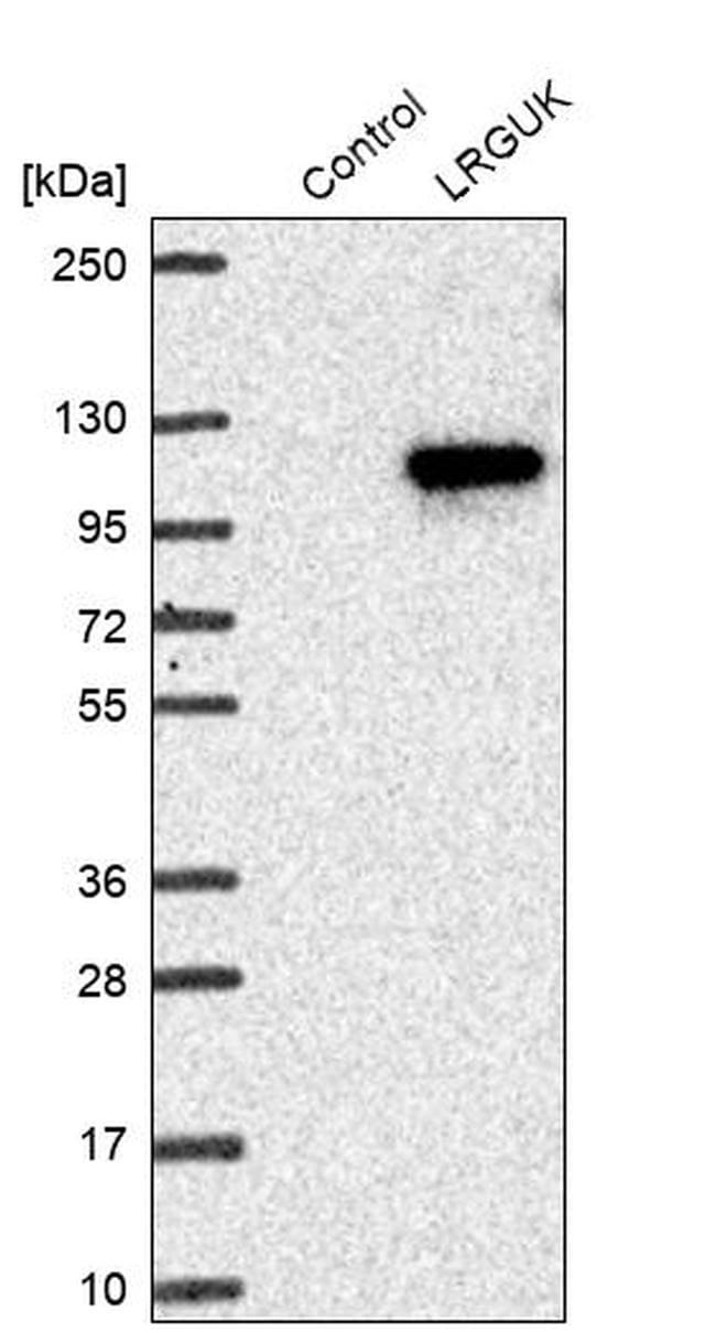 LRGUK Antibody in Western Blot (WB)