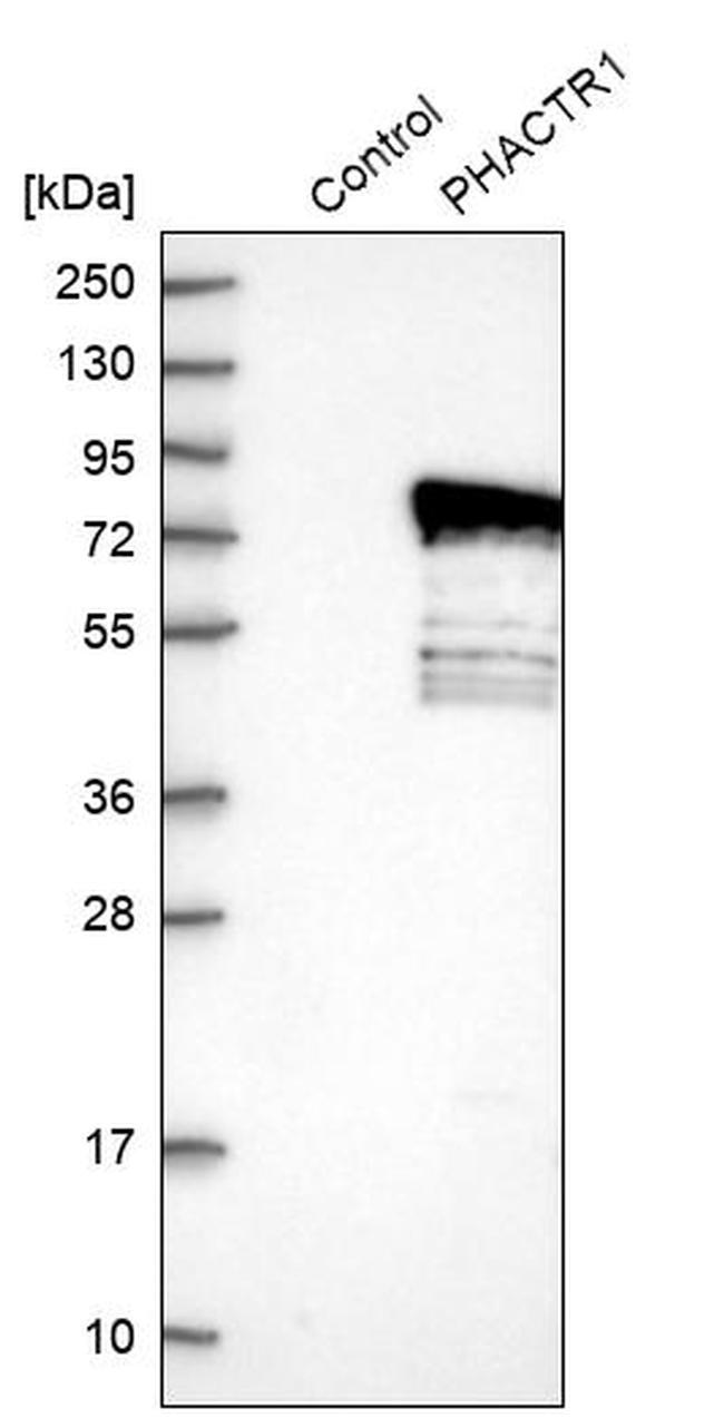 PHACTR1 Antibody in Western Blot (WB)