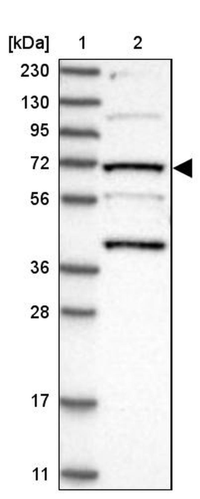 KLC4 Antibody in Western Blot (WB)