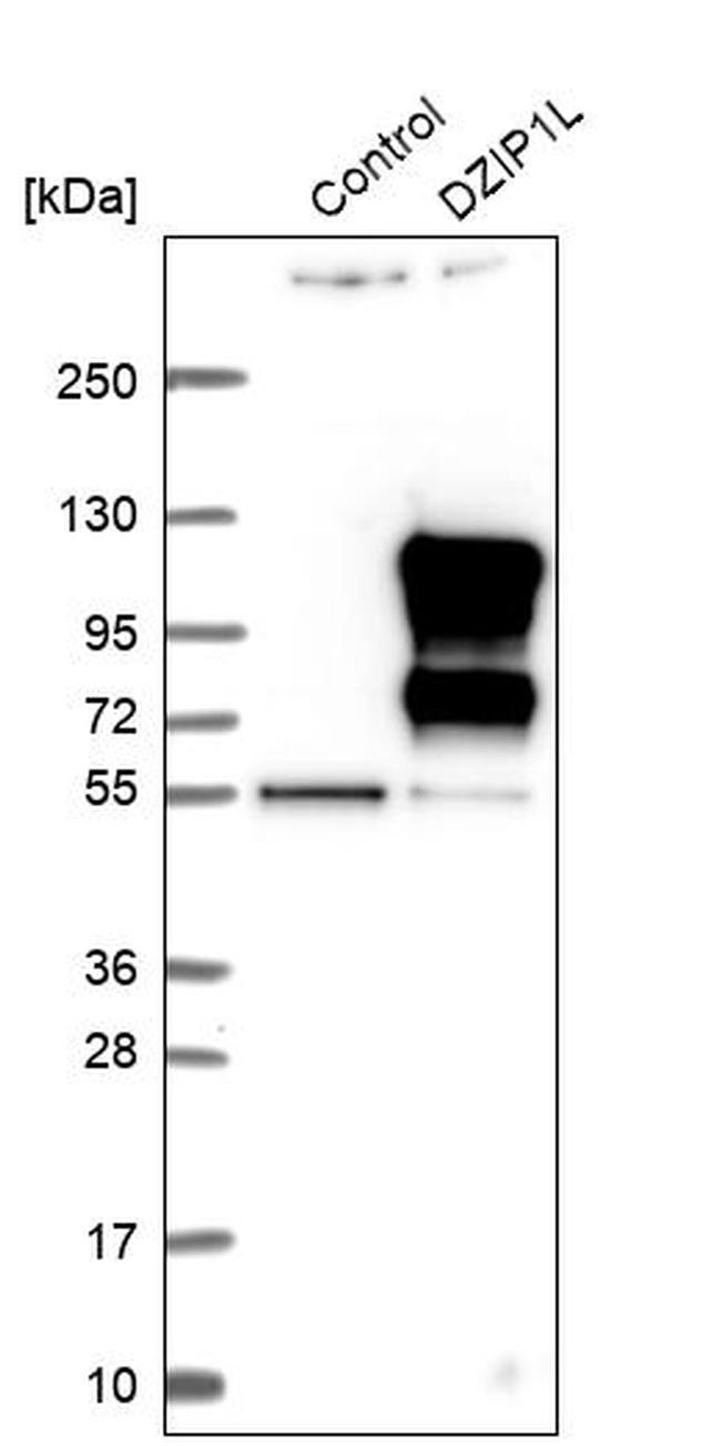 DZIP1L Antibody in Western Blot (WB)