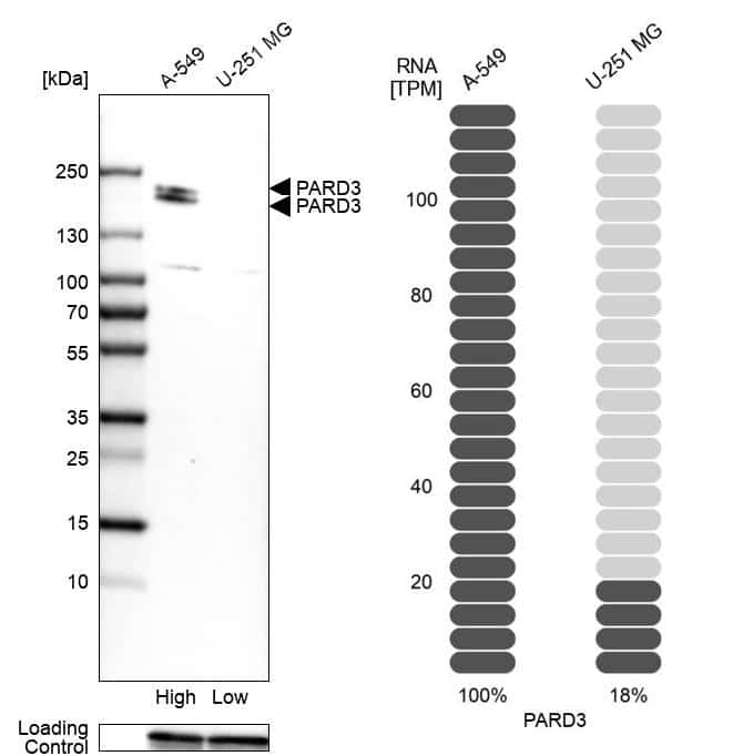 PARD3 Antibody in Relative expression