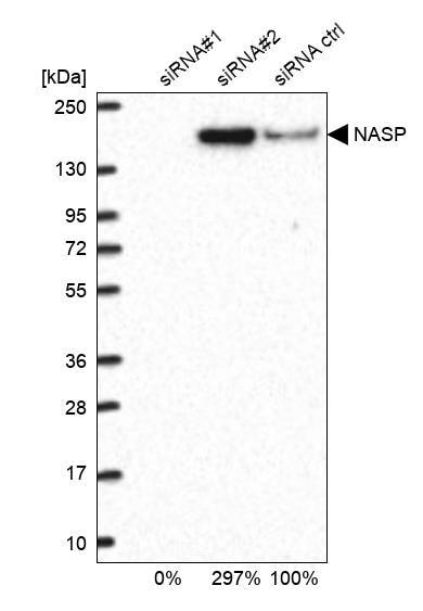 NASP Antibody in KnockDown