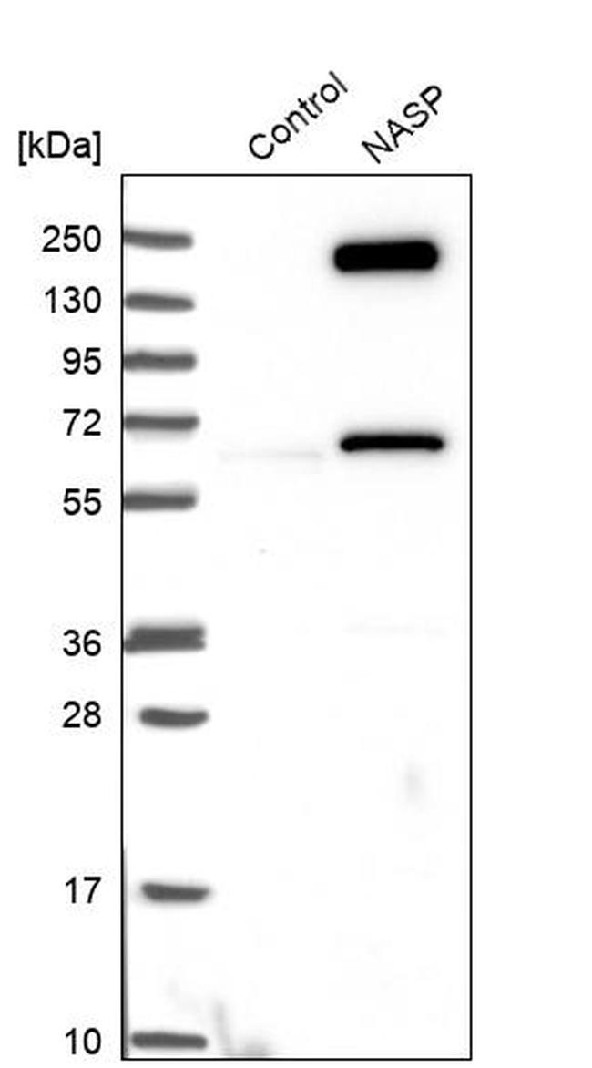 NASP Antibody in Western Blot (WB)