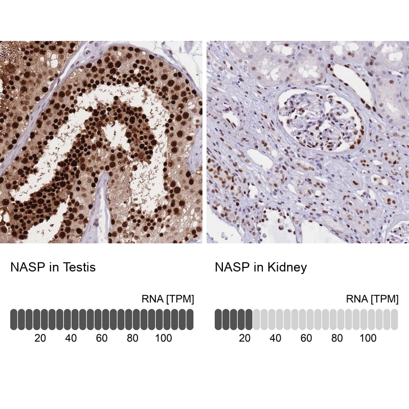 NASP Antibody in Relative expression