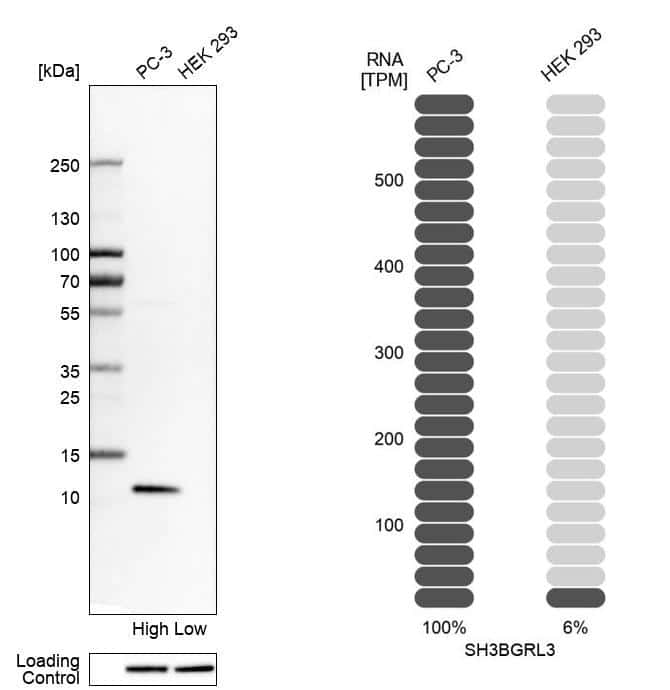 SH3BGRL3 Antibody in Western Blot (WB)