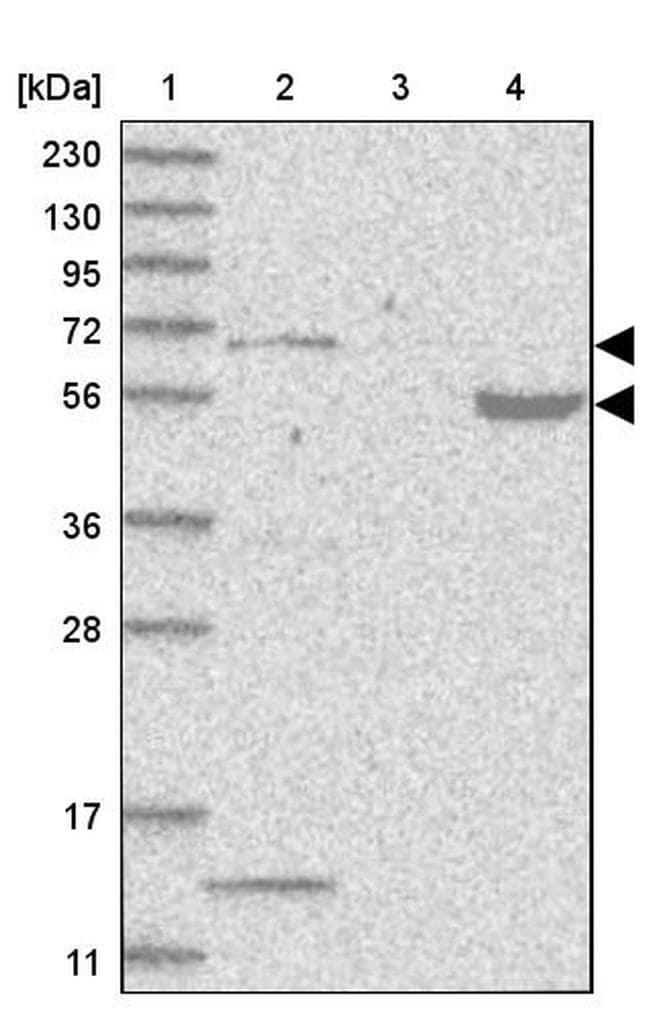 PHF1 Antibody in Western Blot (WB)