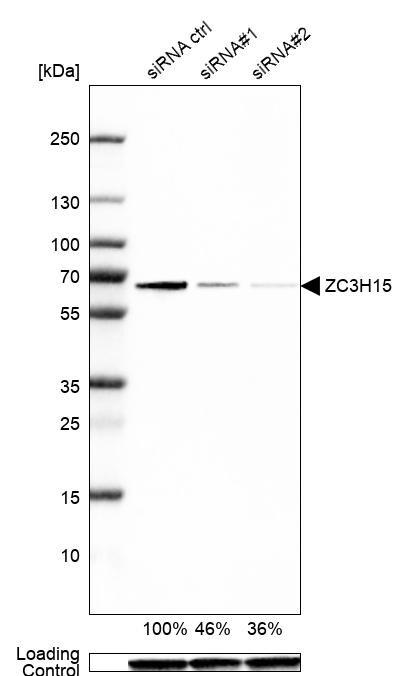 ZC3H15 Antibody in Knockdown