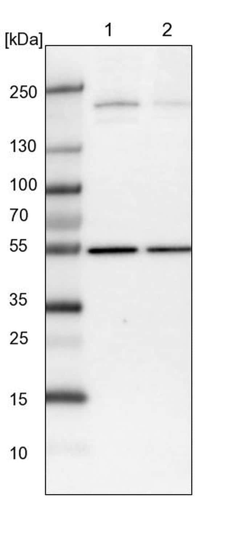Synaptojanin 2 Antibody in Western Blot (WB)