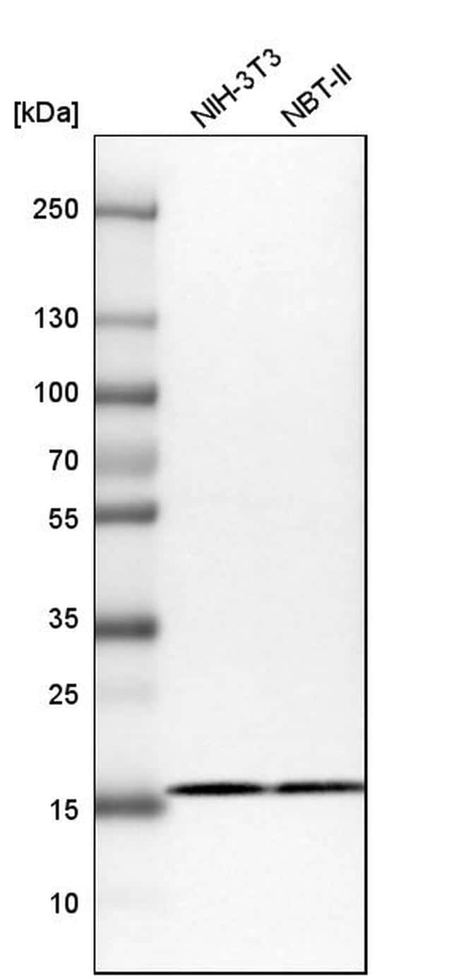RPS25 Antibody in Western Blot (WB)