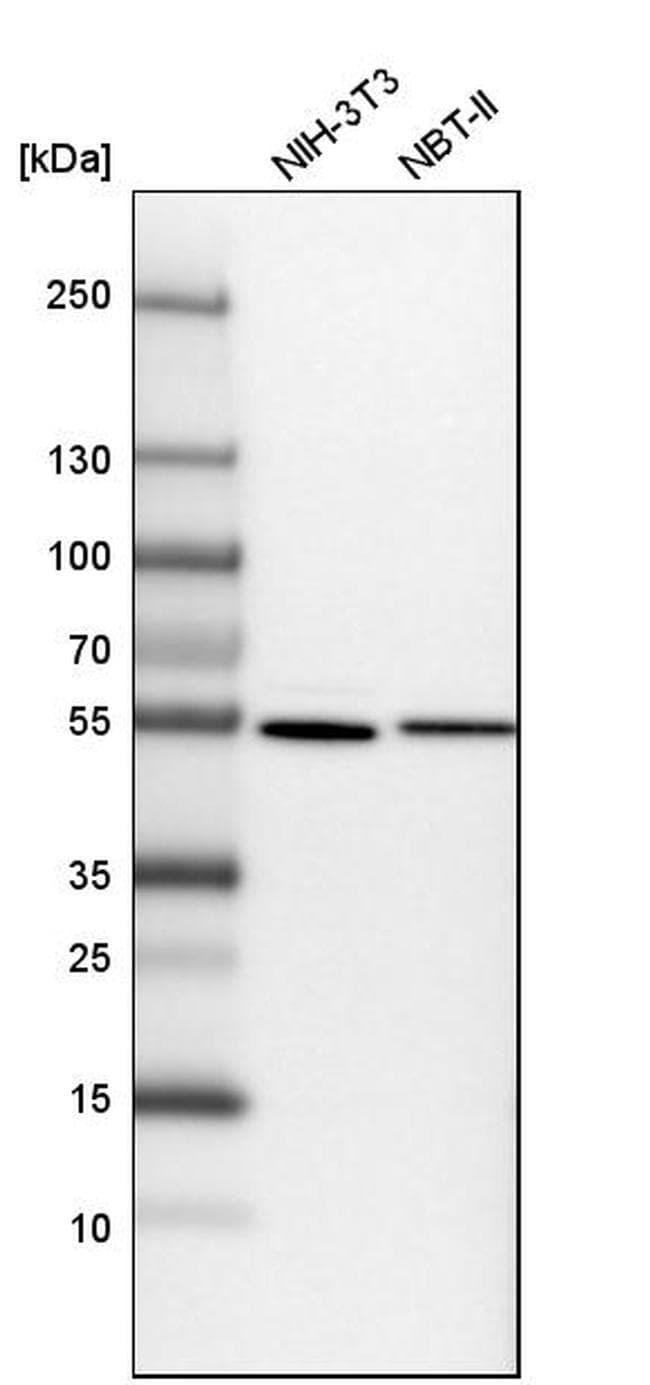 SAMM50 Antibody in Western Blot (WB)