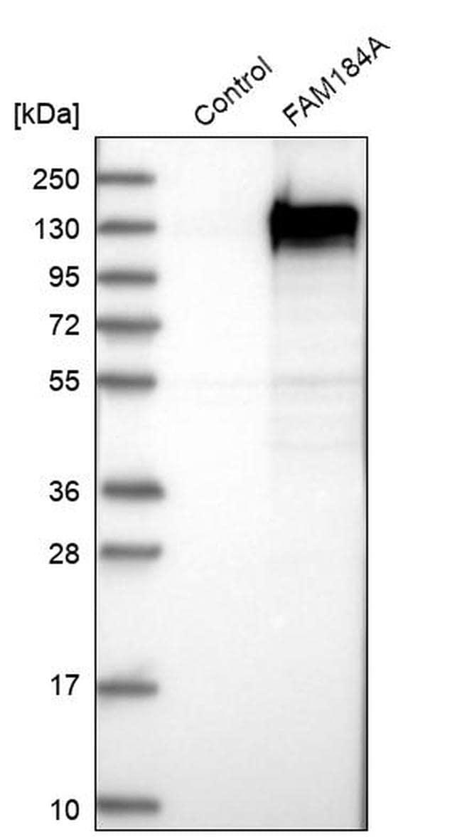 FAM184A Antibody in Western Blot (WB)