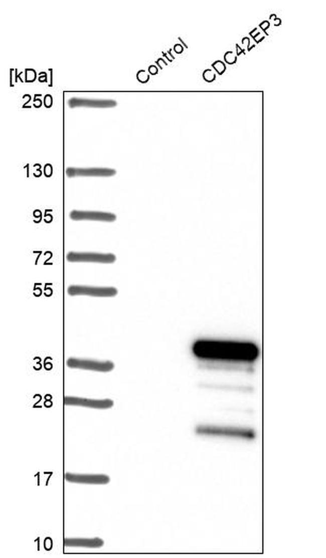 Cdc42EP3 Antibody in Western Blot (WB)