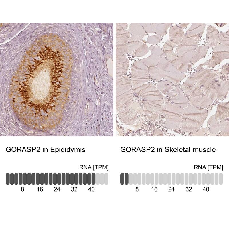 GRASP55 Antibody in Relative expression