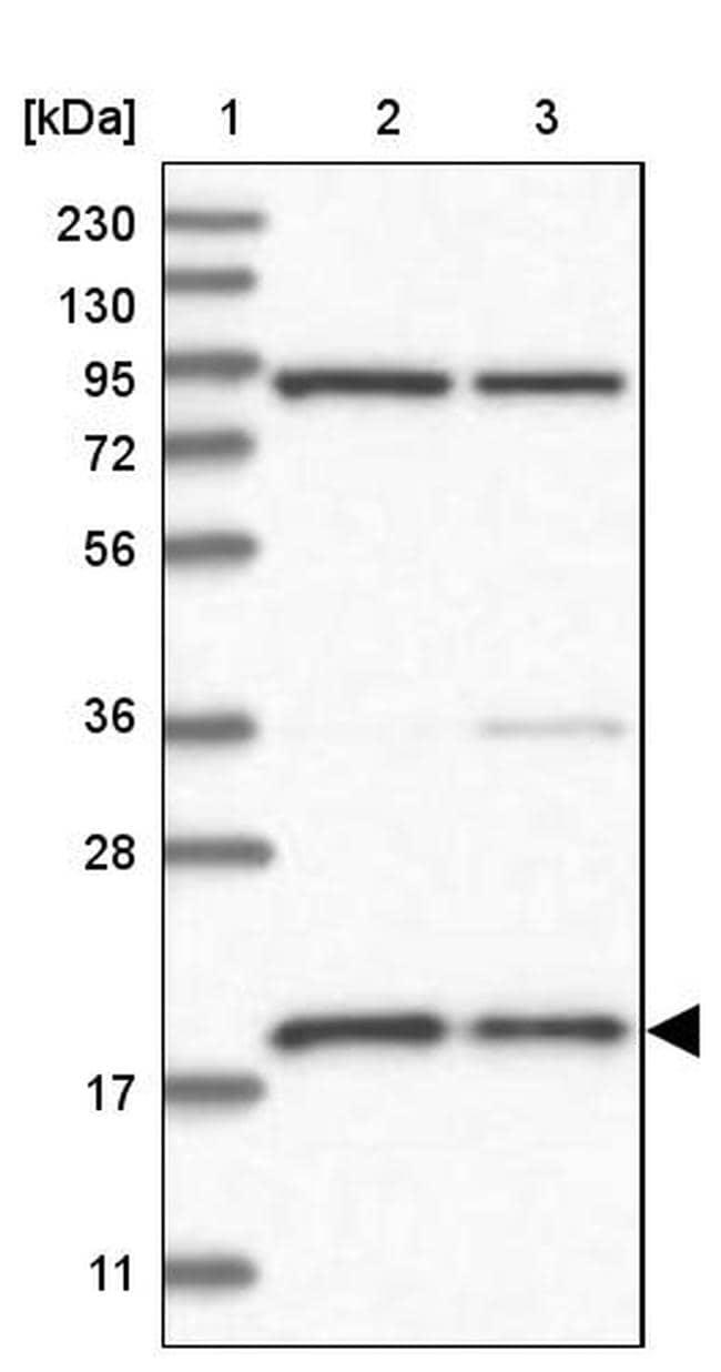 MRPS18A Antibody in Western Blot (WB)