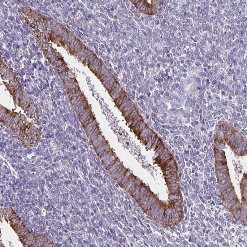 TRH Antibody in Immunohistochemistry (IHC)