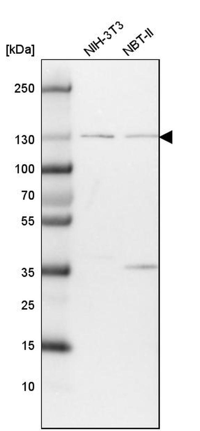 Mgea5 Antibody in Western Blot (WB)
